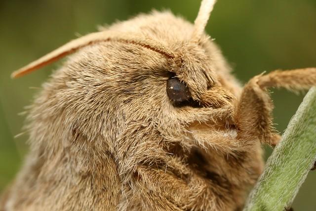 Macrothylacia rubi (bourovec ostružiníkový)