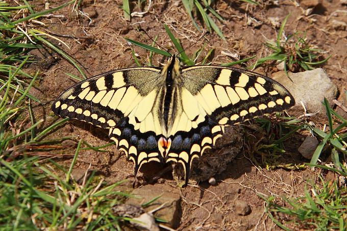 Papilio machaon (otakárek fenyklový)