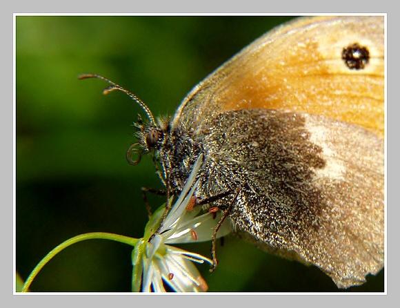 Coenonympha pamphilus (okáč poháňkový)