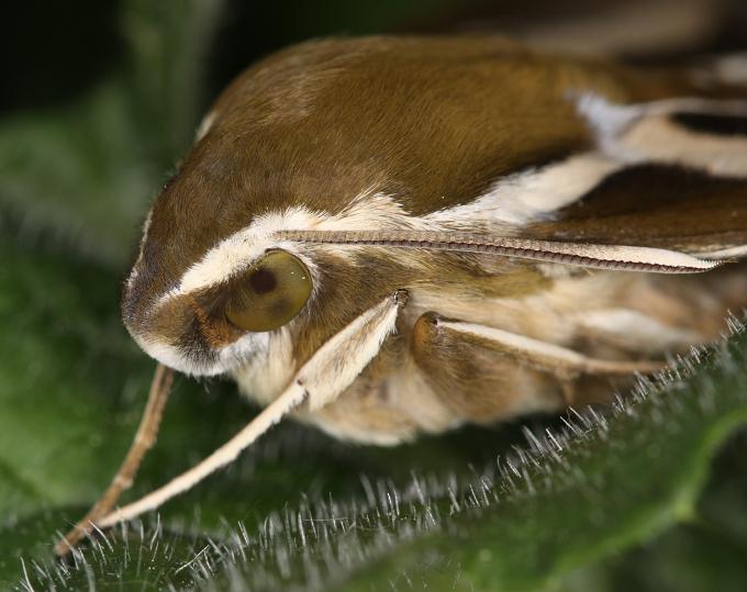 Hyles gallii (lišaj svízelový)