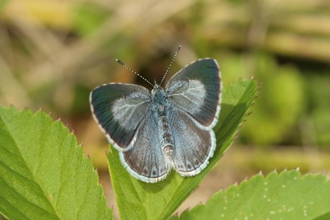Celastrina argiolus (modrásek krušinový)