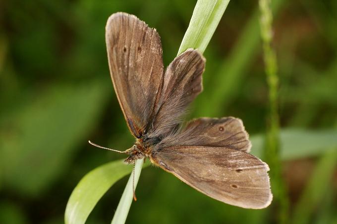 Aphantopus hyperantus (okáč prosičkový)