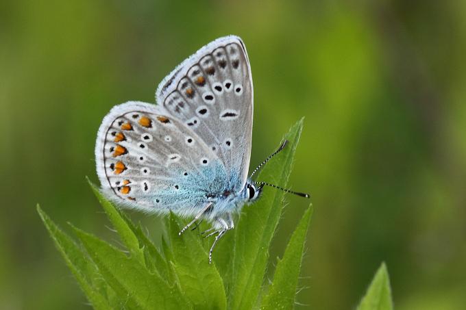 Polyommatus icarus (modrásek jehlicový)