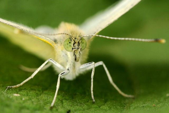 Pieris rapae (bělásek řepový)
