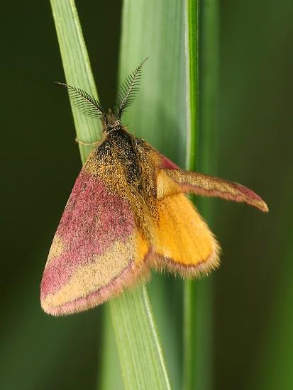 Lythria cruentaria (rudopásník menší)