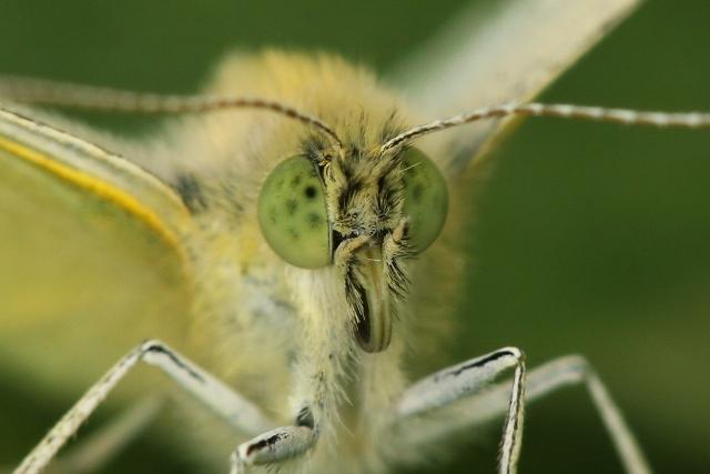 Sosák (galea) motýla