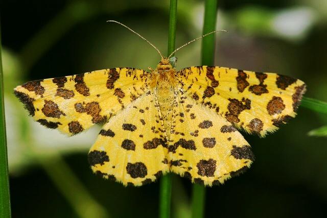http://fotoblog.in/galerie/albums/motyli-lepidoptera/Zejkovec_hluchavkovy.jpg