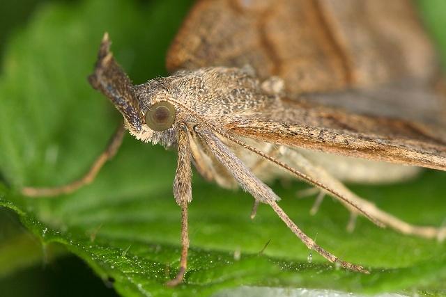 Hypena proboscidalis (zobonosec kopřivový)