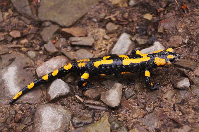 Salamandra salamandra (mlok skvrnitý)