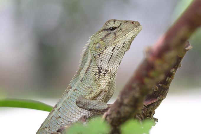 Mauritius - fauna (gekon)