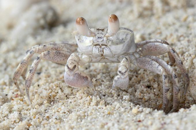 Mauritus - fauna (krab)