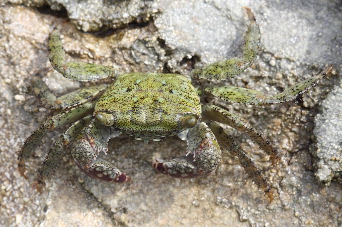Mauritius - fauna (krab)