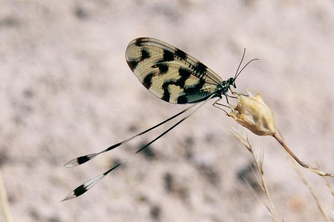 Lesbos (Lesvos) - stuholetka jižní (Nemoptera sinuata)