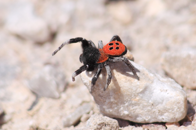 Lesbos (Lesvos) - stepník rudý (Eresus cinnaberinus)