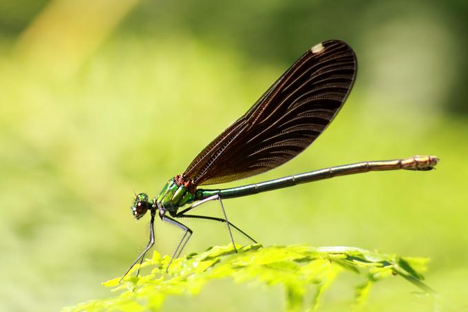 Lesbos (Lesvos) - motýlice obecná (Calopteryx virgo)