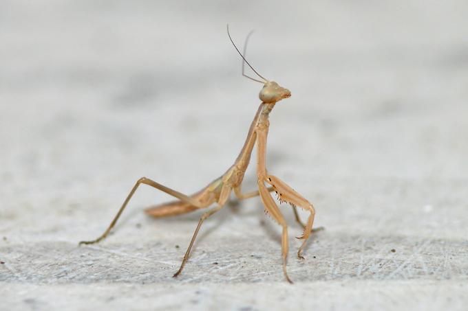 Lesbos (Lesvos) - kudlanka nábožná (Mantis religiosa)