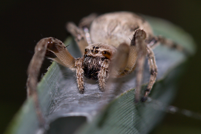 Larinioides cornutus (křižák rákosní)