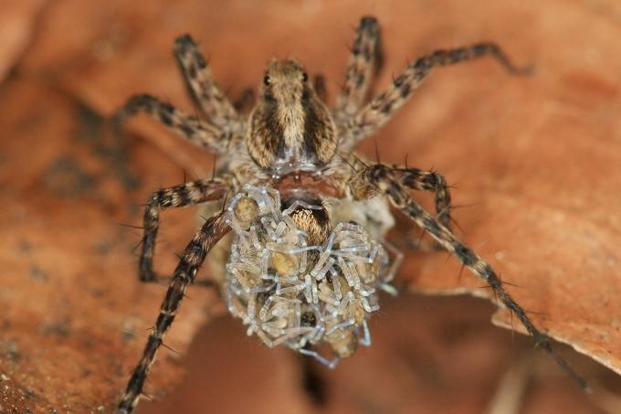 Pardosa lugubris (slíďák hajní)