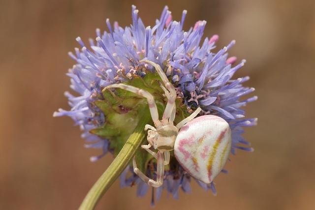 Thomisus onustus (běžník květomilný)