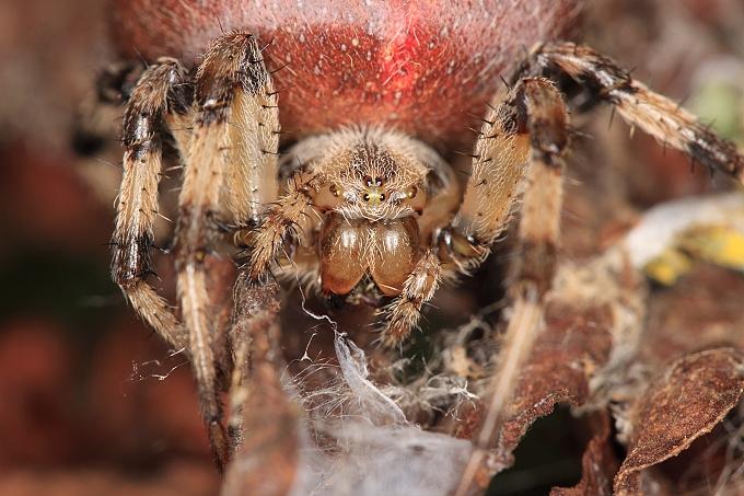 Araneus quadratus (křižák čtyřskvrnný)