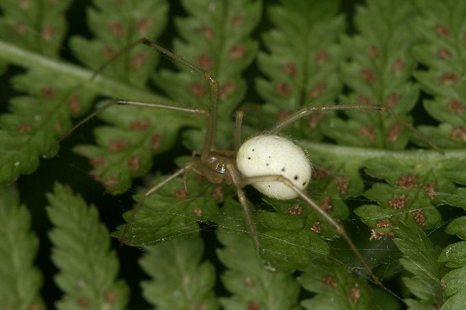 Enoplognatha ovata (snovačka oválná)