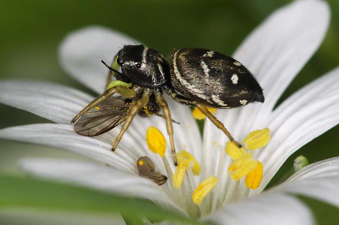 Heliophanus cupreus (skákavka měděná)