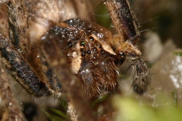Pisaura mirabilis (lovčík hajní)