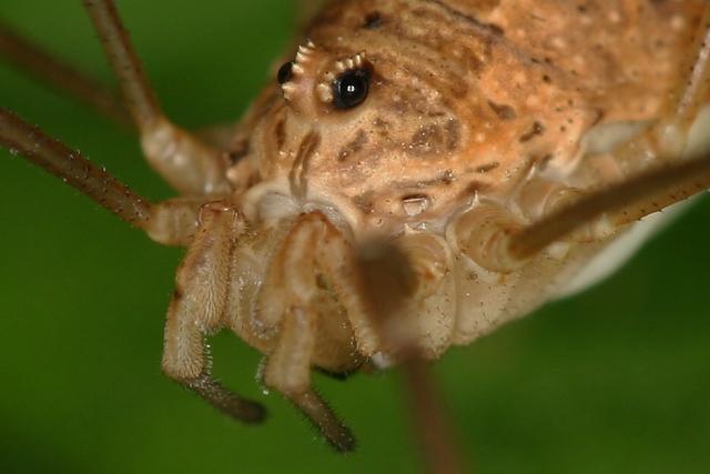 Oči pavoukovců