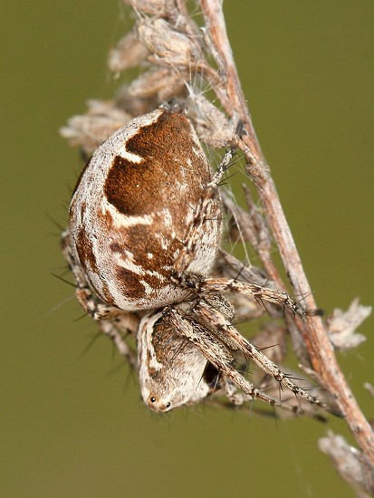 Oxyopes ramosus (paslíďák keřový)