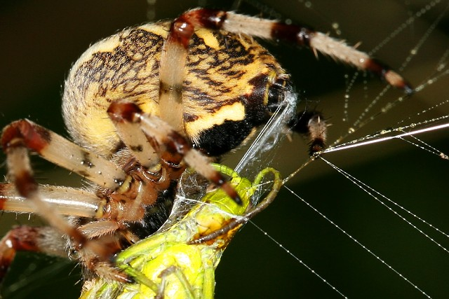 Útok křižáka (Araneus diadematus)
