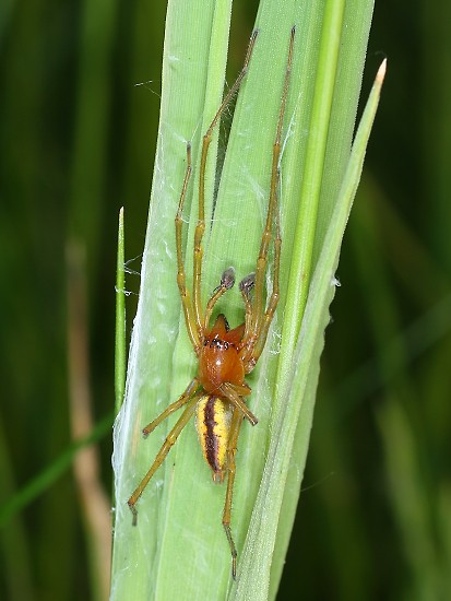 Cheiracanthium erraticum (zápředník mokřadní)
