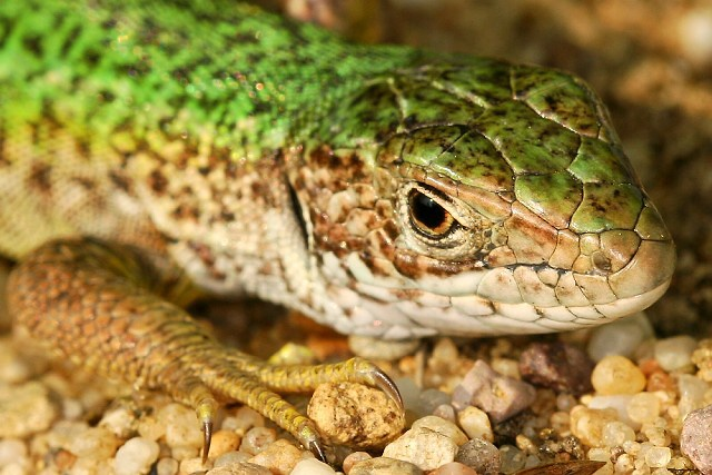 Lacerta viridis (ještěrka zelená)