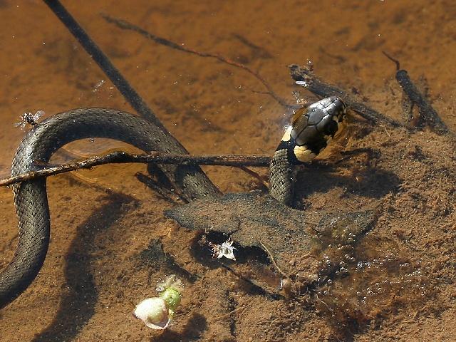 Natrix natrix (užovka obojková)