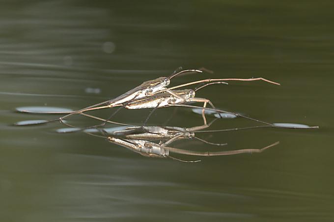 Aquaris paludium (bruslařka rybniční)