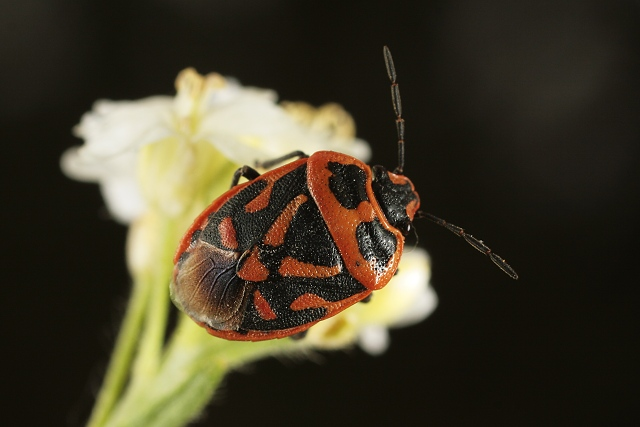 Eurydema ornatum (kněžice zdobená)