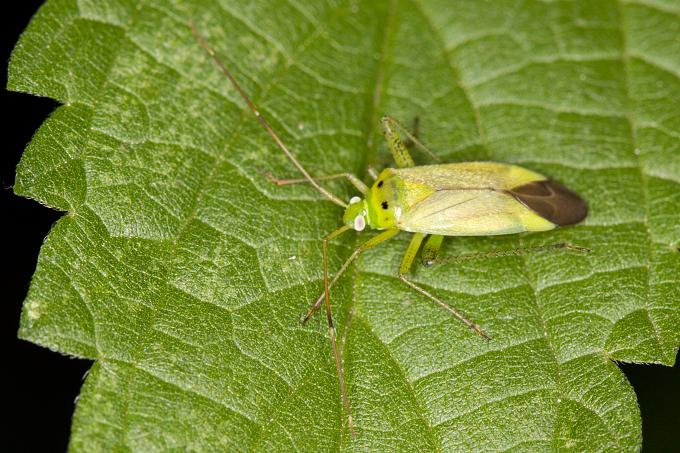 Calocoris norvegicus (klopuška dvoutečná)