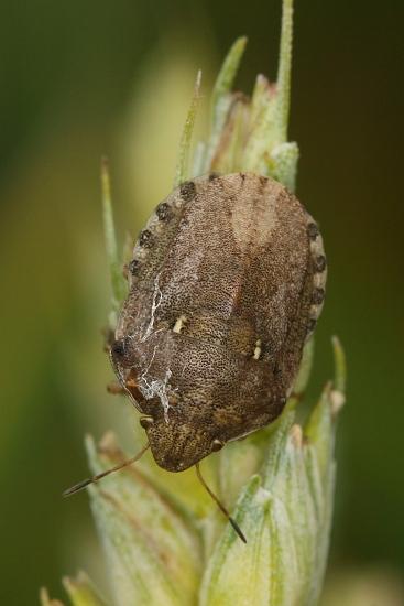 Eurygaster maura (kněžice obilná)