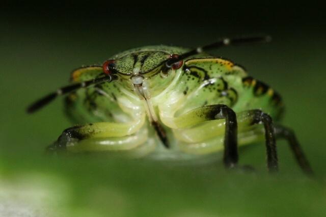Palomena prasina (kněžice trávozelená)