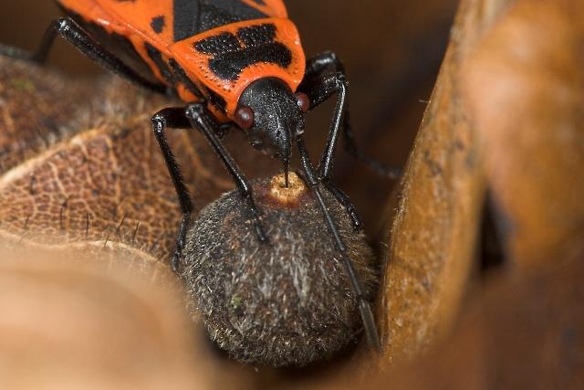 Pyrrhocoris apterus (ruměnice pospolná)