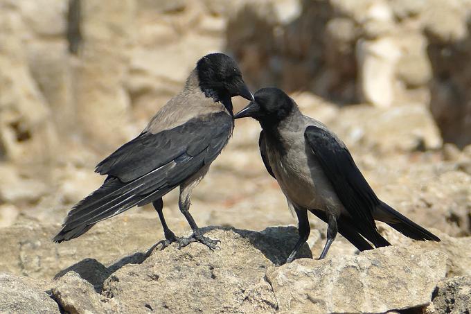 Corvus cornix pallescens (vrána šedá kyperská)