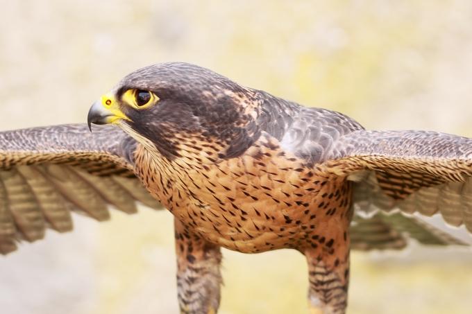 Falco peregrinoides (sokol šahin)