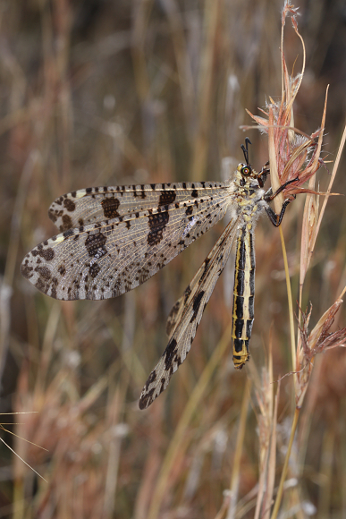 Palpares libelluloides (motýlovec jižní)