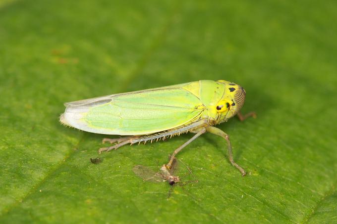 Cicadella viridis (křísek zelený, sítinovka zelená)