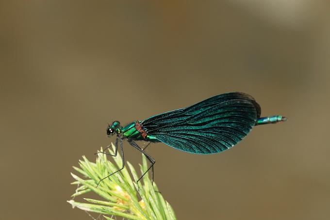Calopteryx virgo (motýlice obecná)