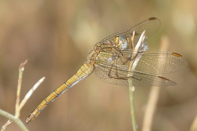 Orthretrum coerulescens (vážka žlutoskvrnná)