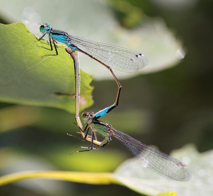 Ischnura elegans (šidélko větší)