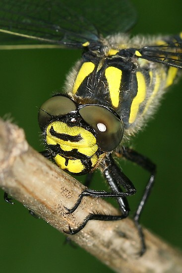 Cordulegaster bidentata (páskovec dvouzubý)