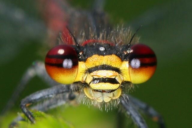 Pyrrhosoma nymphula (šidélko ruměnné)