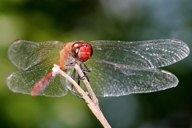 Sympetrum sanguineum (vážka rudá)