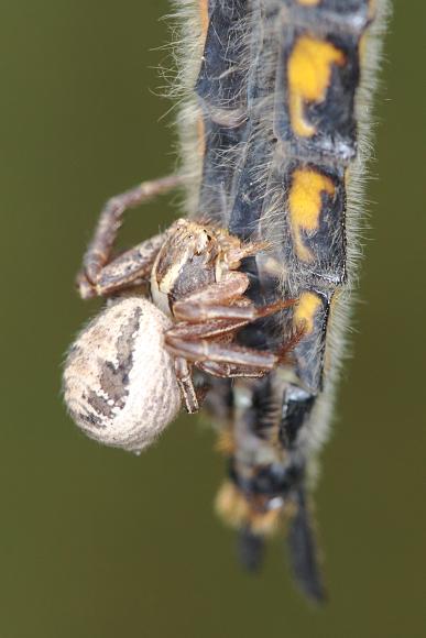 Vážka a její lovec